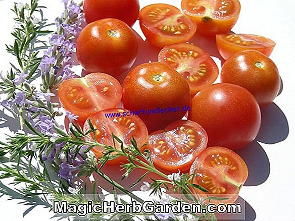 Lycopersicon esculentum (Super Bush Tomato)