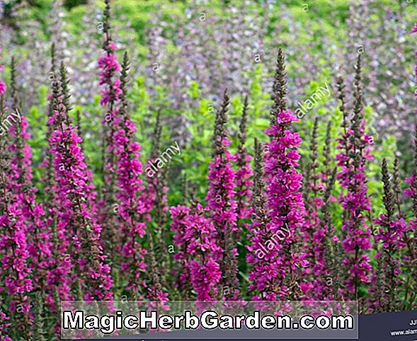 Pflanzen: Lythrum virgatum (Purple Loosestrife)