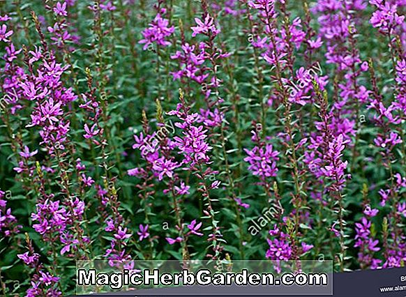 Lythrum virgatum (Dropmore Purple Loosestrife)