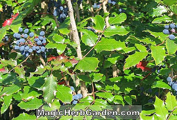 Mahonia aquifolium (Oregon Grapeholly)