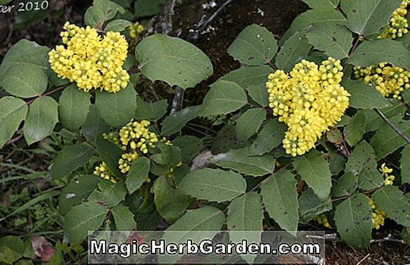Mahonia pumila (raisin de l'Oregon)