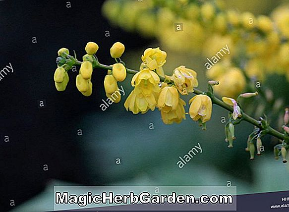 Mahonia x media (Buckland Oregon Traube)