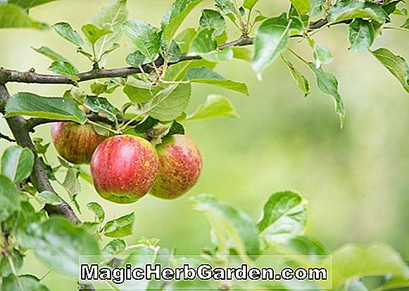 Malus (Roter Fluss Crabapple) - #2