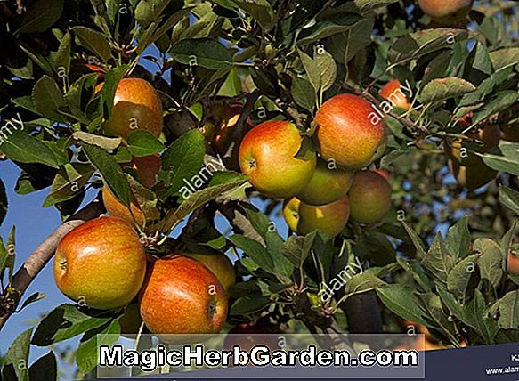 Malus domestica (Sir Prize Apple)