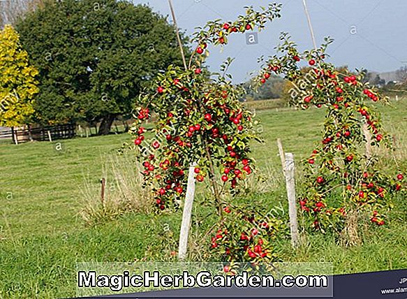 Malus domestica (Perry Russet Apple)