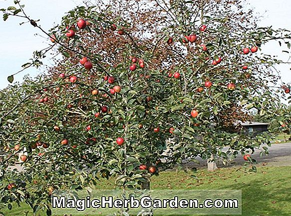 Malus domestica (Roter wohlhabender Apfel)