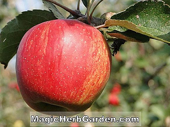 Malus domestica (pomme melrose) - #2