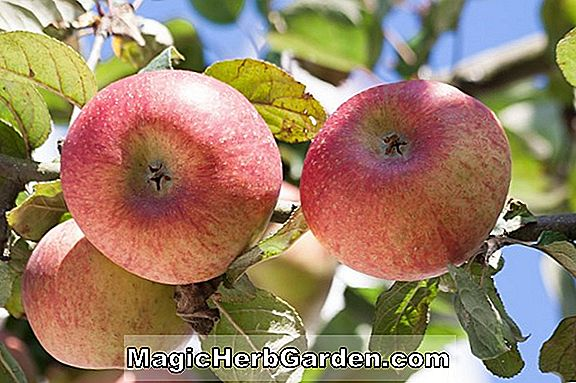 Malus domestica (Yarlington Mill Apple)
