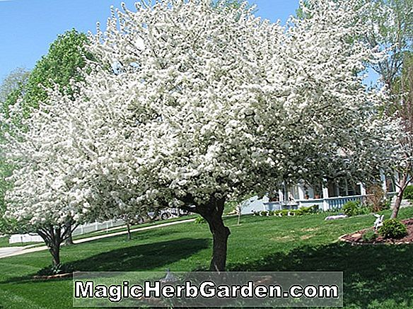 Malus hybrida (Donald Wyman Flowering Crabapple)