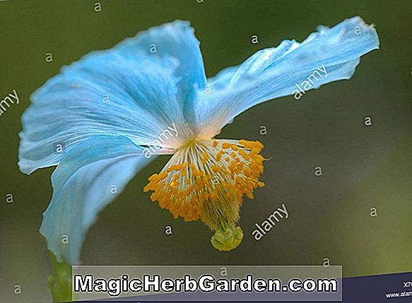 Meconopsis sheldonii (Ormswell Meconopsis)
