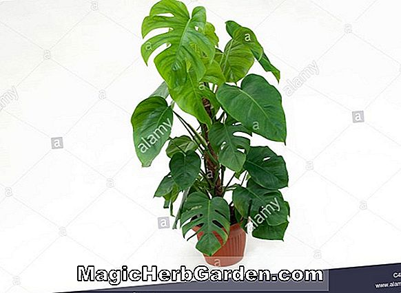 Monstera deliciosa (Split-Blatt Philodendron)