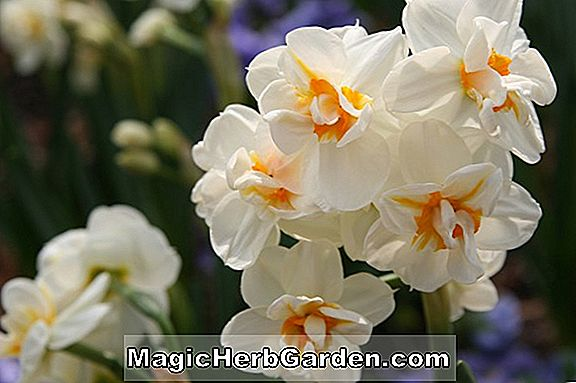 Narzisse (Cragford Narcissus)