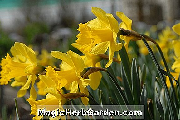 Narcissus (Arctic Gold Narcissus)