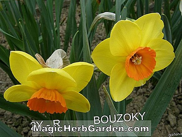 Narzisse (Broadway Star Narcissus)