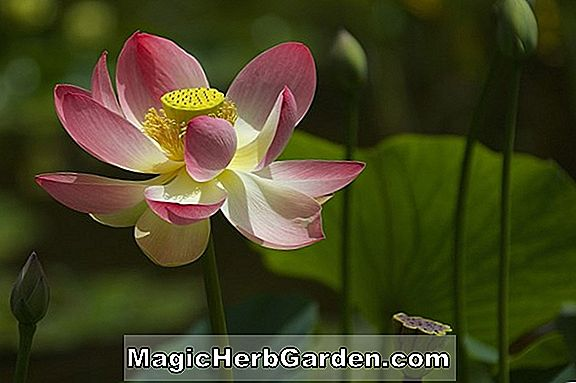 Nelumbo (Madame Pafique Lotus)
