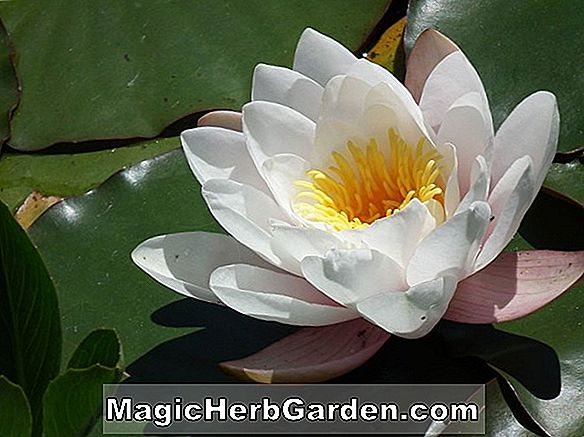 Pflanzen: Nymphaea (Golden West Seerose)