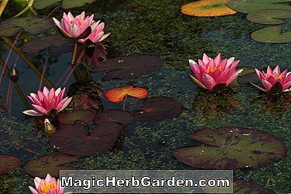 Nymphaea (Joanne Pring Hardy Water Lily)