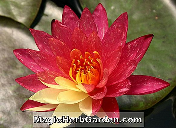 Plantes: Nymphaea (Red Water Waterlily)