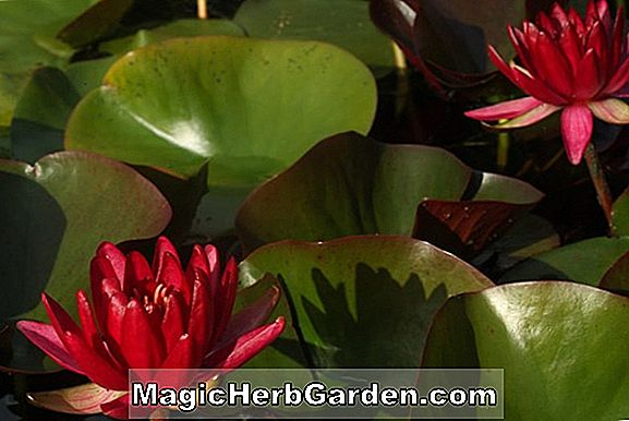Nymphaea (Perry's Red Blaze Hardy Seerose)
