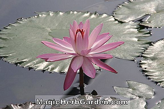 Nymphaea (Texas Dawn Hardy Water Lily)