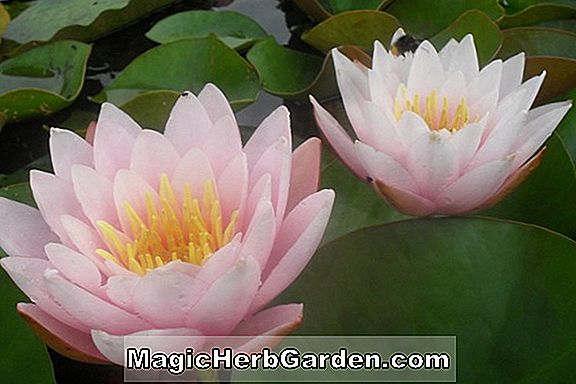 Nymphaea (Perry's Crinkled Pink Hardy Water Lily)
