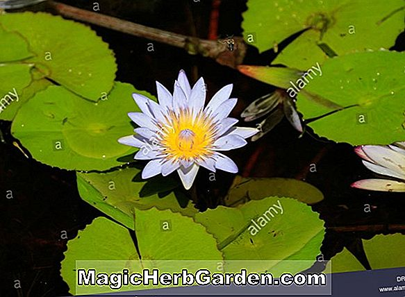 Nymphaea (Trickeri Tropical Water Lily)