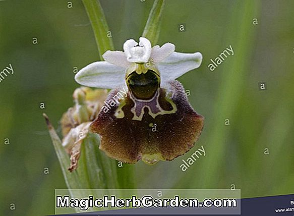Pflanzen: Ophrys lutea (Ophrys-Orchidee)