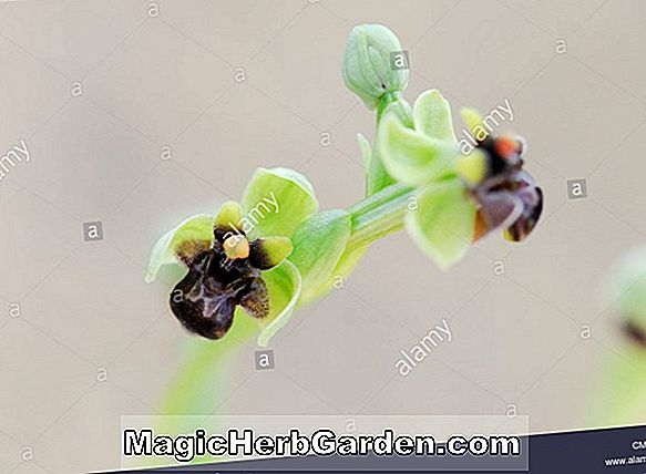Ophrys speculum (Spiegel-Orchidee)