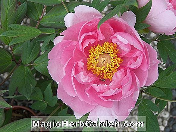Paeonia (Port Royale Pfingstrose)