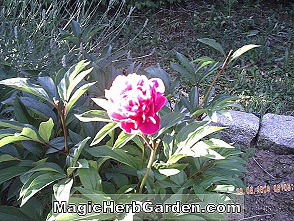 Paeonia (Top Messing Pfingstrose)