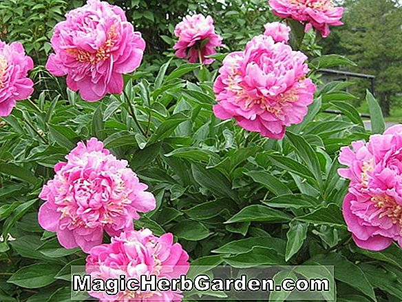 Pflanzen: Paeonia lactiflora (Feather Top Pfingstrose)