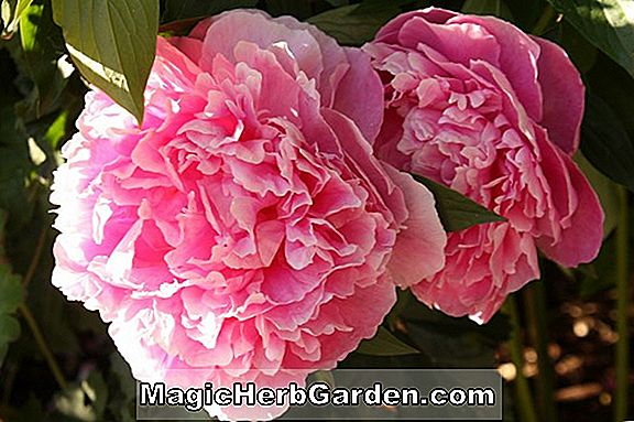 Paeonia lactiflora (Dr. H. Barnsby Peony)