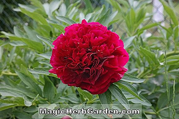 Paeonia officinalis (Rubra Plena Pfingstrose)