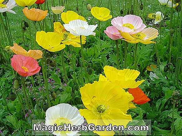 Papaver orientale (Maid's Blush Poppy)