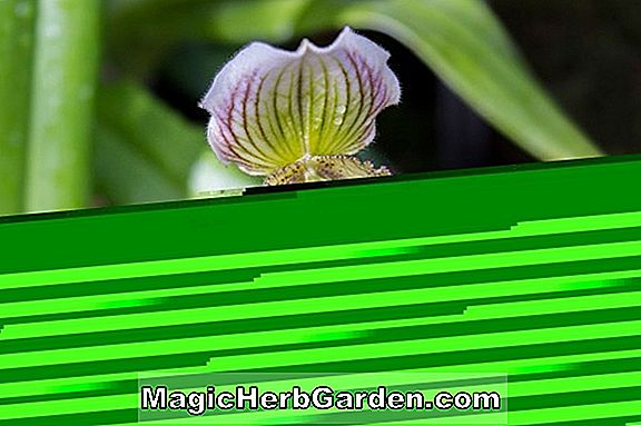 Paphiopedilum (Miller's Tochter Orchidee)