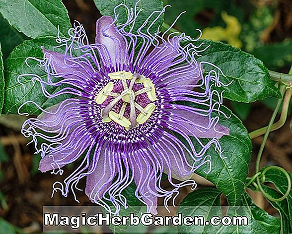 Passiflora edulis (Purple Granadilla)