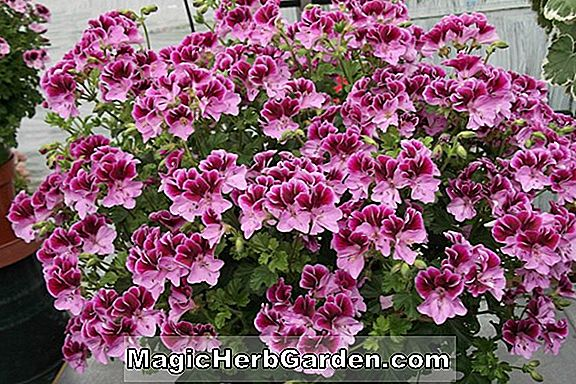 Pelargonie (Purple Wonder Geranium)