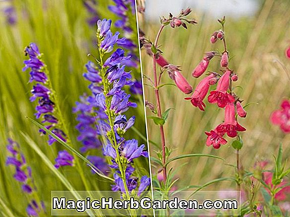 Penstemon (Blaue Bedder Penstemon) - #2