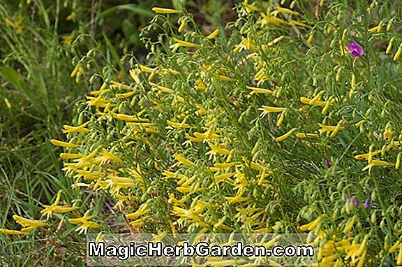 Penstemon pinifolius (Mersea Yellow Penstemon) - #2