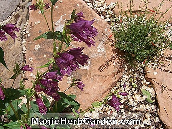 Penstemon whippleanus (Whipples Penstemon) - #2