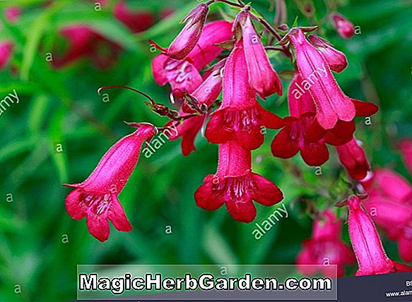Penstemon (Barbara Barker Penstemon)