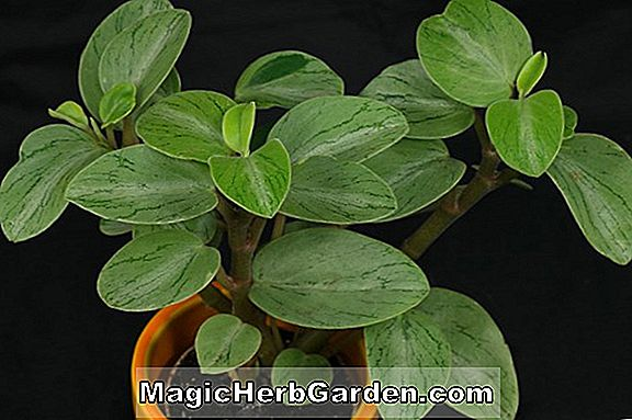 Peperomia glabella (Wachs Liguster Peperomia)