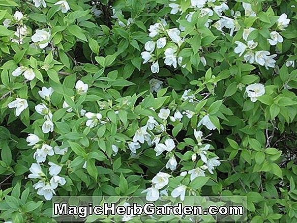 Philadelphus (Mont Blanc Mock Orange) - #2