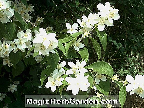 Philadelphus (Jungfrauen Mock Orange) - #2