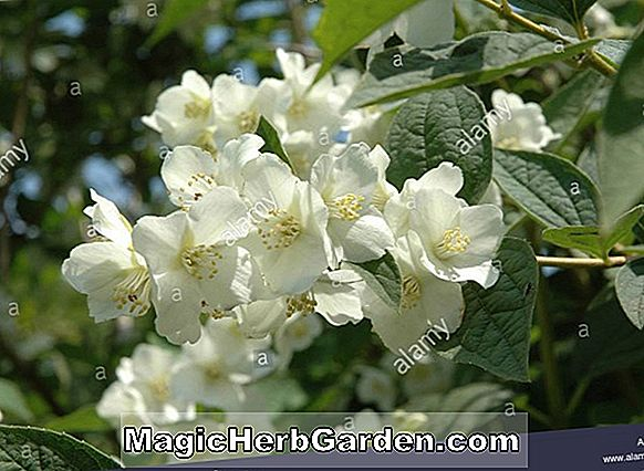 Philadelphus subcanus (Mock Orange) - #2