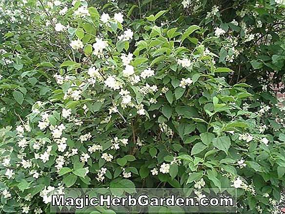 Philadelphus (Avalanche Mock Orange) - #2