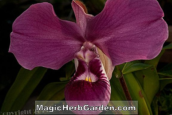 Phragmipedium besseae (Phragmipedium-Orchidee)