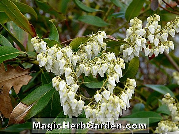 Pieris floribunda (Berg Pieris)