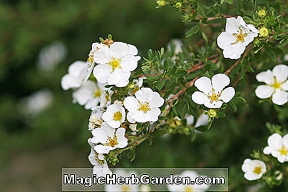 Pflanzen: Potentilla fruticosa (Mount Everest Shrubby Cinquefoil) - #2
