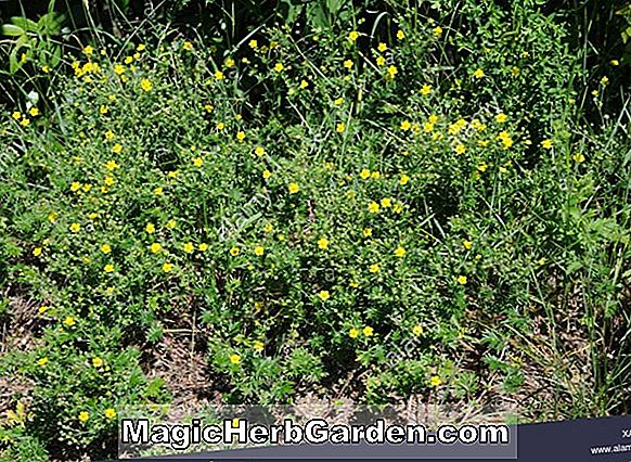 Potentilla fruticosa (William Purdom Potentilla) - #2